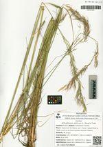 Achnatherum sibiricum (L.) Keng ex Tzvel.