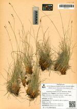 Kobresia simpliciuscula (Wahlenb.) Mack.