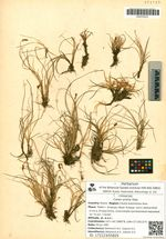 Carex ursina Dew.