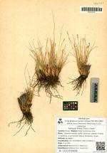 Kobresia filifolia (Turcz.) Clarke