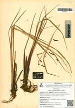 Carex cryptocarpa C.A. Mey.