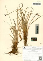 Carex soczavaeana Gorodkov