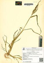Echinochloa crus-galli  (L.) Beauv.