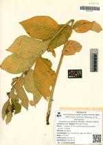 Vincetoxicum atratum (Bunge) C. Morren & Decne.