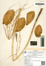 Vincetoxicum amplexicaule Siebold et Zucc.