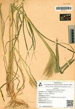 Echinochloa caudata Roshev.
