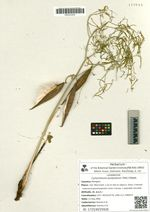 Cynoctonum purpureum (Pall.) Pobed.