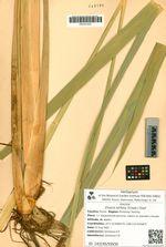 Zizania latifolia (Griseb.) Stapf