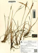 Carex stans Drejer