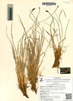 Carex ensifolia Tuzcz. ex V. Krecz.