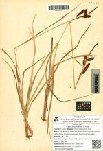Carex physocarpa C. Presl