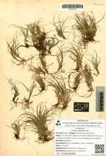 Carex rupestris All.