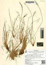 Carex appendiculata (Trautv. & C.A. Mey.) Kük.