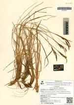 Carex aguatilis Wahlenb.