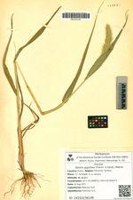 Setaria gigantea (Franch. & Savat.) Makino