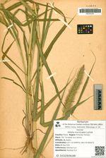 Setaria macrocarpa Luchnik