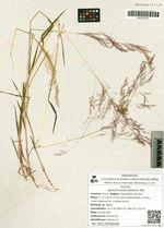 Agrostis divaricatissima Mez