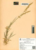 Agrostis gigantea Roth