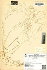Agrostis alba L.