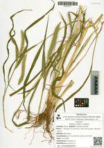 Setaria viridis (L.) Beauv.