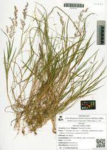 Agrostis tenuis Sibth.