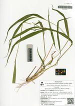 Neomolinia mandshurica (Maxim.) Honda