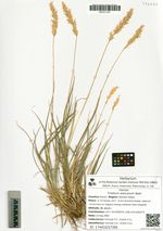 Trisetum alascanum Nash