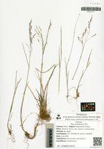 Poa urssulensis Trin.