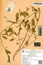 Convolvulus arvensis L.