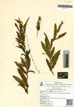 Calystegia dahurica (Herb.) Choisy