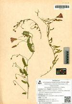 Convolvulus fischerianus V. Petrov