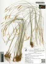 Poa botryoides (Trin. ex Griseb.) Kom.