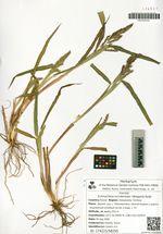 Echinochloa occidentalis (Wiegand) Rydb.