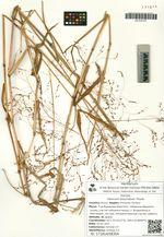 Panicum bisulcatum Thunb.