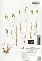Hierochloe odorata (L.) Beauv.