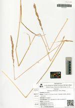 Elymus chinensis (Trin.) Keng.