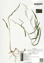 Muhlenbergia huegelii Schreb.