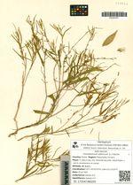 Vincetoxicum sibiricum (L.) Decne.