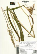 Spodiopogon sibiricus Trin.