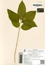 Vincetoxicum acuminatum Decne.