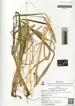 Calamagrostis turczaninowii Litv.