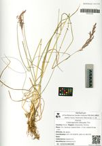 Calamagrostis obtusata Trin.