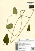 Metaplexis japonica (Thunb.) Makino
