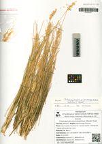 Calamagrostis praecaespitosus (Wevski) Tzvel.