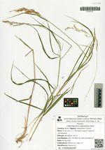 Calamagrostis angustifolia Kom.