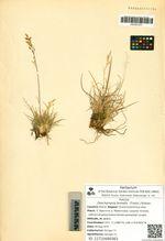 Deschampsia borealis  (Trautv.) Roshev.