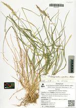 Calamagrostis pavlovii Roshev.