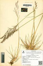 Deschampsia cespitosa (L.) Beauv.