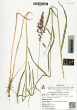 Calamagrostis purpurea (Trin.) Trin.
