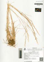 Deschampsia glauca C. Hartm.